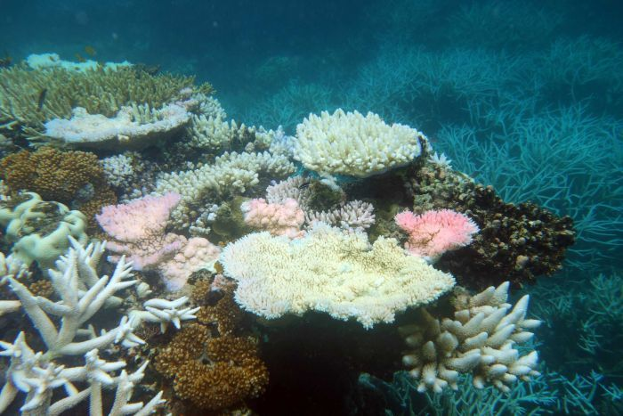 Photo: The existence of the reef as a coral-dominated system depends on two factors: the events that damage coral and its rate of recovery. (Supplied: Reef and Rainforest Research Centre)