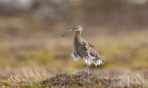 A curlew. 'The home of these birds is in farmland officially designated 'marginal', exactly what is considered most suitable for swaths of sterile, densely-packed conifers.' Photograph: Thomas Hanahoe/Alamy Stock Photo