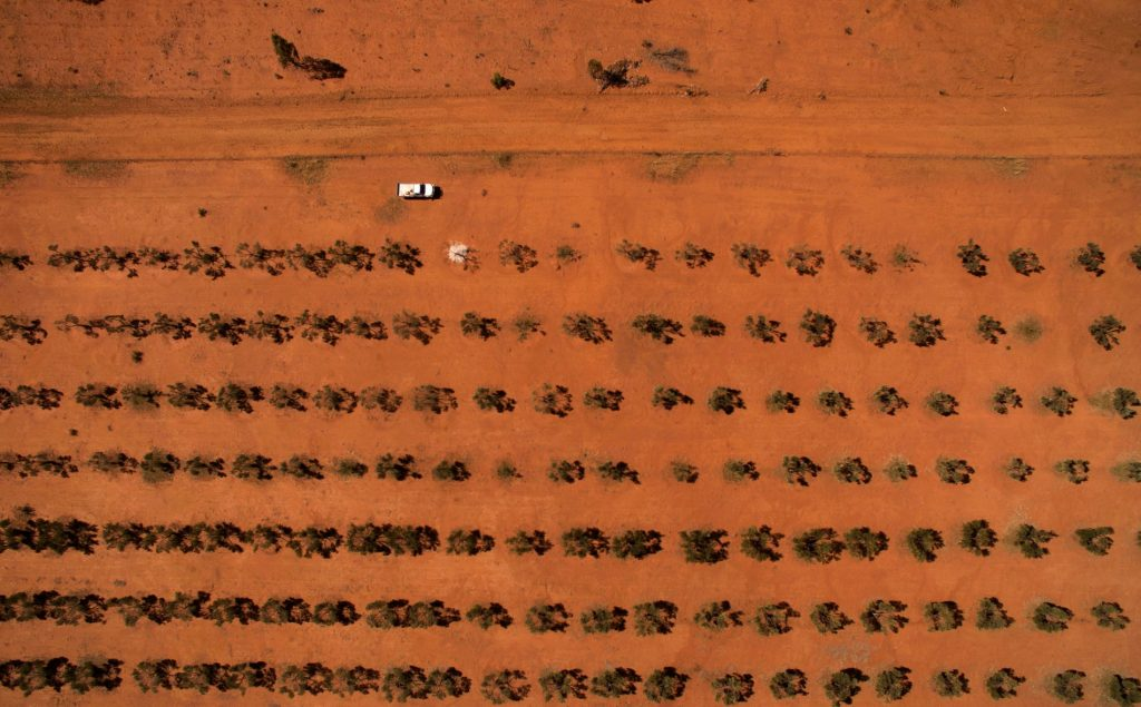An olive grove on Sommariva station, owned by Karen McLennan and her son Michael McLennan. Photograph: Mike Bowers for the Guardian