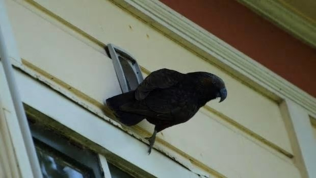 Kākā can crack open plastic vents in houses or rip through wood, the Department of Conservation have warned. Photo: Supplied