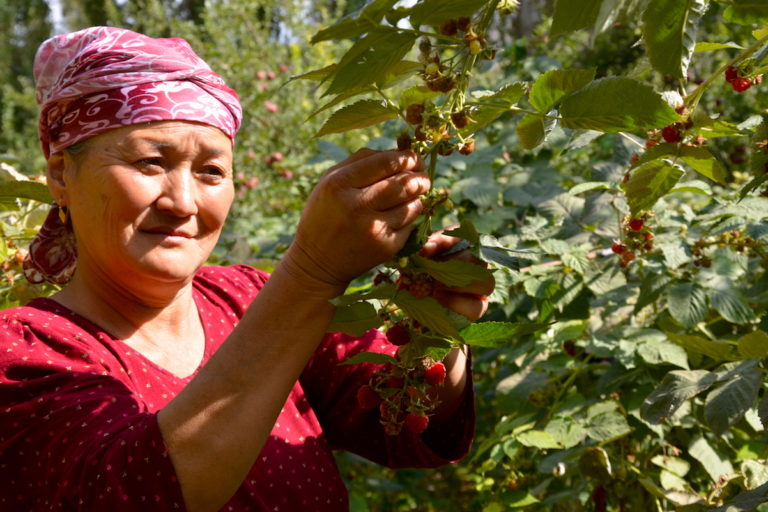 Farmer Inoyatkhon Nurdinova picks some of her raspberries, with intercropped fruit trees in the background. Image by Cholpon Uzakbaeva for Mongabay.