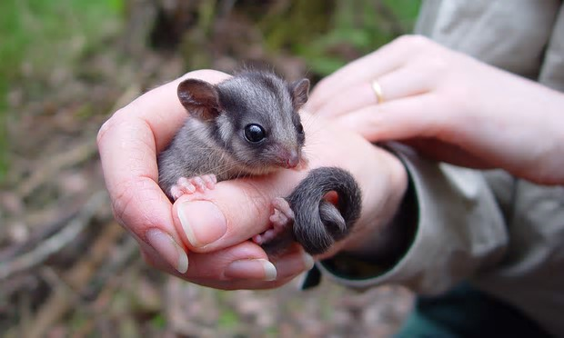 The leadbeater's possum is Victoria's animal emblem. Photograph: Zoos Victoria