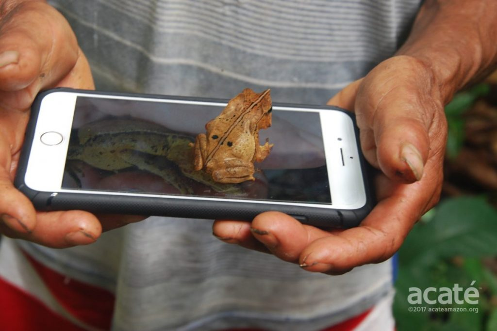 A leaf mimic toad requesting a selfie on the project's iPhone camera. Image courtesy of Acaté Amazon Conservation.