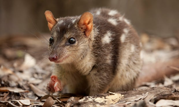 The northern quoll is one of the threatened species the government's expert report says will likely be affected by a plan to clear 2,000 hectares of Kingvale station. Photograph: University of Technology Sydney