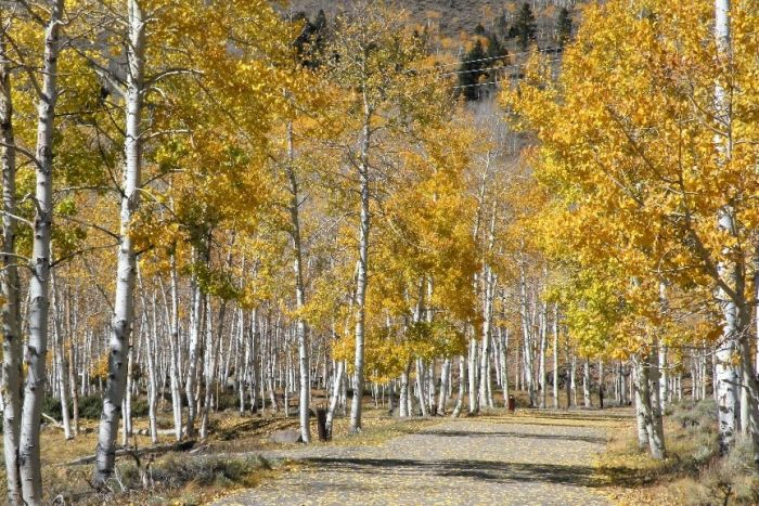 Every tree in the Pando is genetically identical. (Supplied: Paul C. Rogers)
