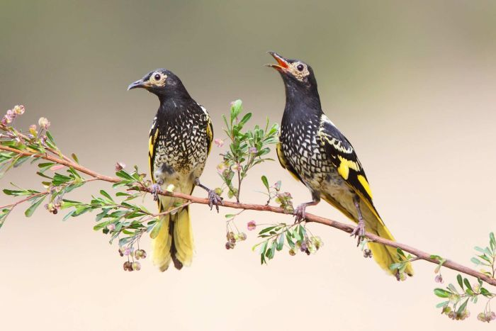 Photo: The Twitchathon will raise money for threatened species including the critically endangered regent honeyeater, pictured. (Supplied: Dean Ingwersen)