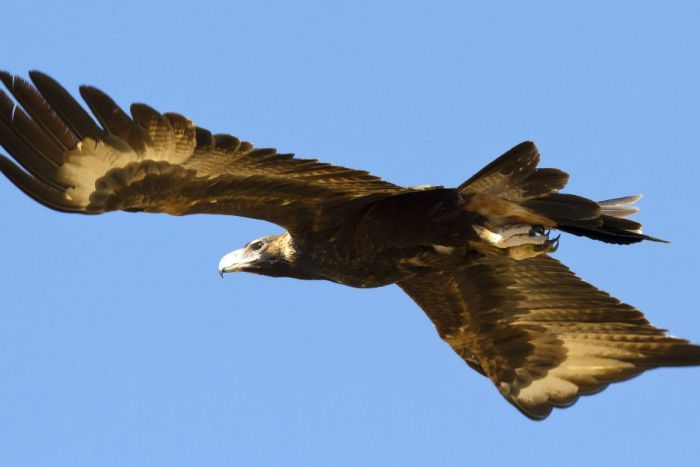 Photo: Eagles will be detected within a kilometre of the turbines. (Flickr: Jim Bendon)