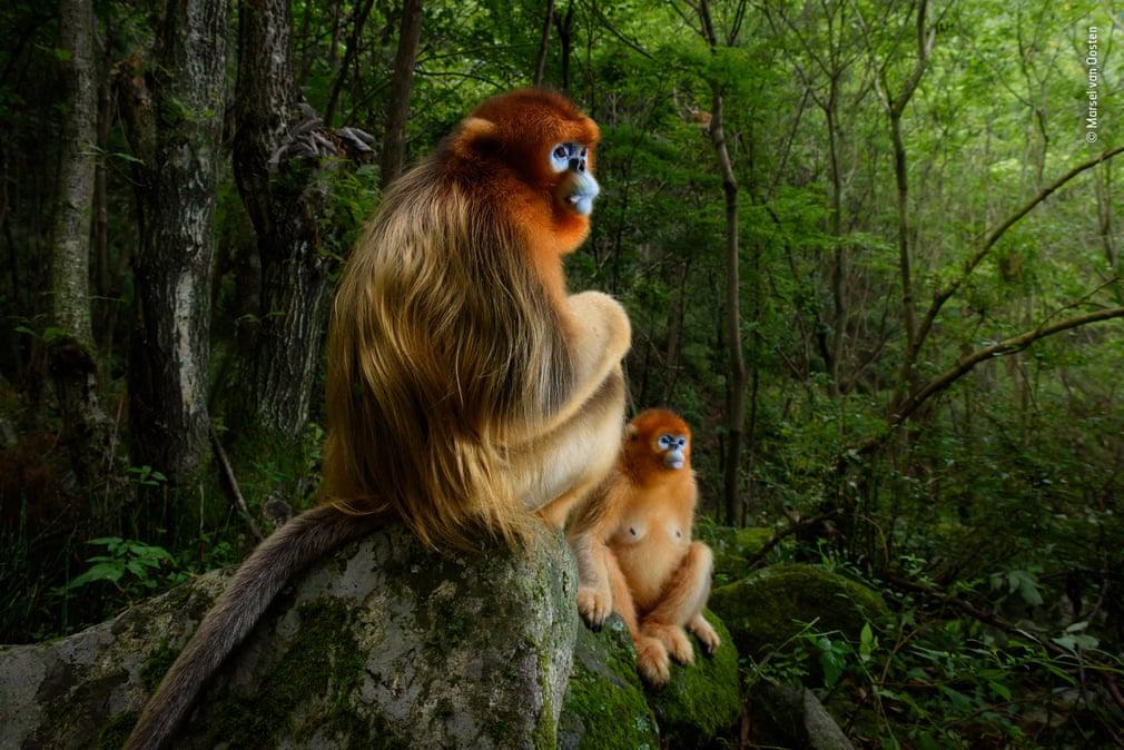 The golden couple by Marsel van Oosten, The Netherlands – grand title winner, Animal portraits