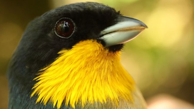 A yellow-throated tanager. Photo: Graham Montgomery