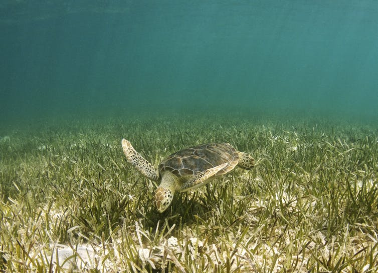 Seagrass can grow at depths of up to 90m and is an important part of the food web. Anita Kainrath / shutterstock