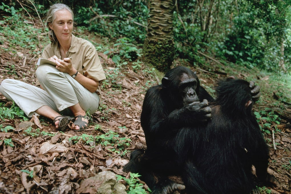 Goodall studying chimpanzees in Tanzania. Over the last 100 years chimpanzee numbers have dropped from perhaps two million to a maximum of 340,000. Photograph: Michael Nichols/National Geographic/Getty Images