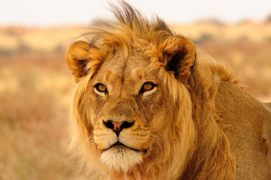 """There's a need to secure Africa's 282 massive """"lionscapes"""". Shutterstock"""