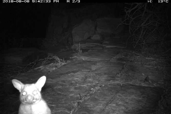 Photo: While brushtail possums are common in the southern parts of Western Australia, it is the first time one has been documented north of Geraldton. (Supplied: DBCA)