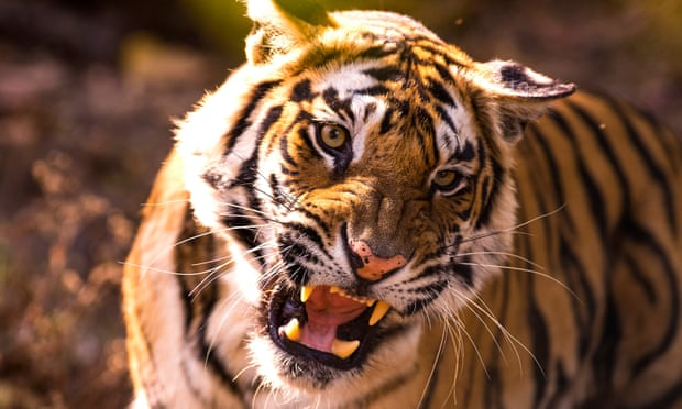Episode five of the new BBC series Dynasties looks at the fight for survival of a tiger. Photograph: Theo Webb/BBC NHU