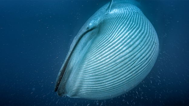 Current numbers on big species such as blue whales are very sketchy. Photo: BBC/Silverback Films