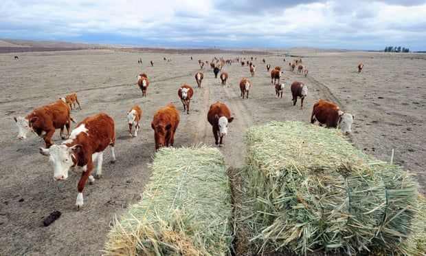Cattle farming in California. Photograph: Frederic J Brown/AFP/Getty Images