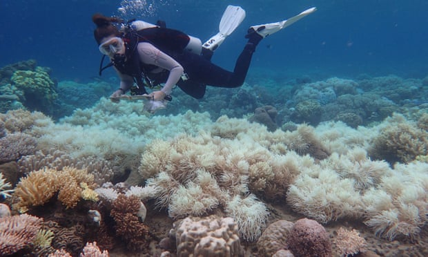 Close to half the corals on the Great Barrier Reef have died in the past three years, according to expert Prof Terry Hughes. Photograph: Greg Torda/ARC Centre of Excellence for Coral Reef Studies