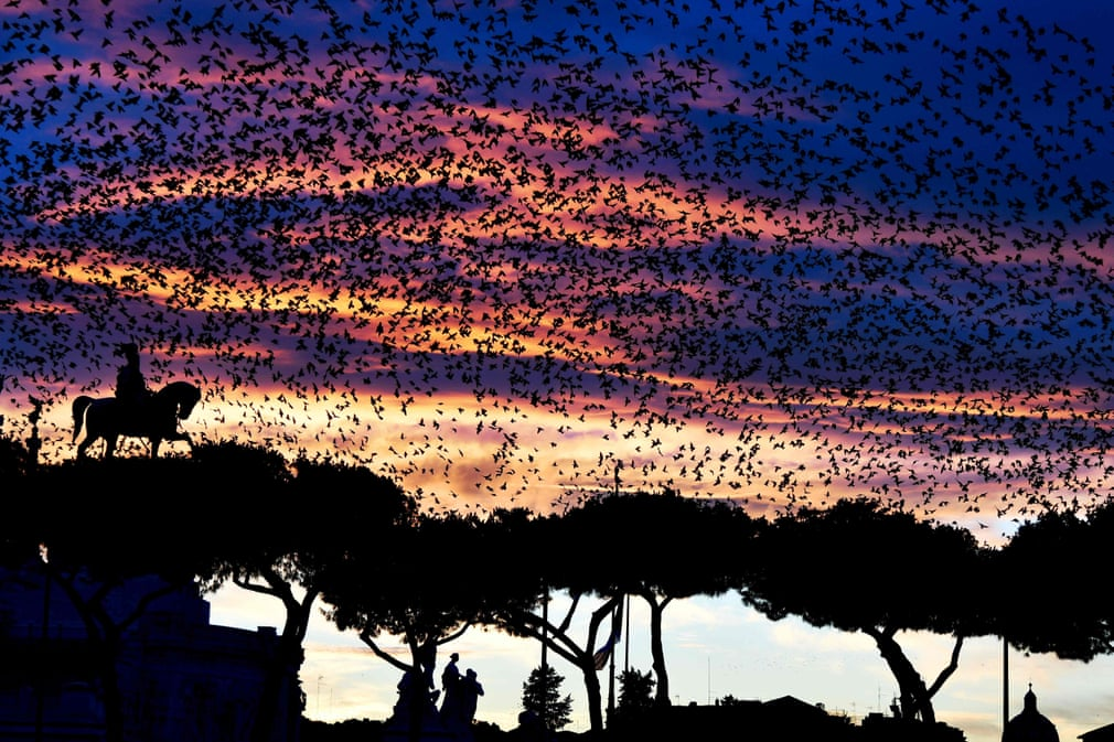 A murmuration of starlings flies over the Altare della Patria monument in Rome. Authorities have enlisted falcons to scare off defecating starlings, as the Italian capital plays host to a growing menagerie of animals, including gulls, wild boars and sheep. Photograph: Vincenzo Pinto/AFP/Getty Images