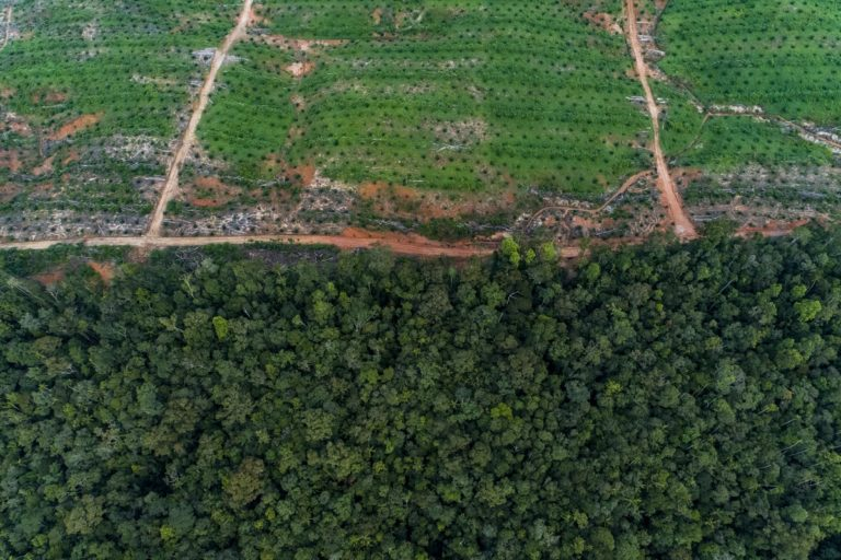 Oil palms on the edge of the Tanah Merah project. Image by Nanang Sujana for The Gecko Project.